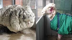 Une nouvelle vie au poil pour Chris le mouton, allégé de 40 kilos