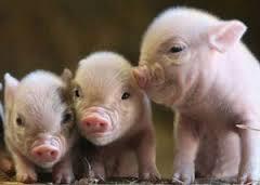 Le Parlement européen veut une interdiction stricte du clonage dans l'élevage