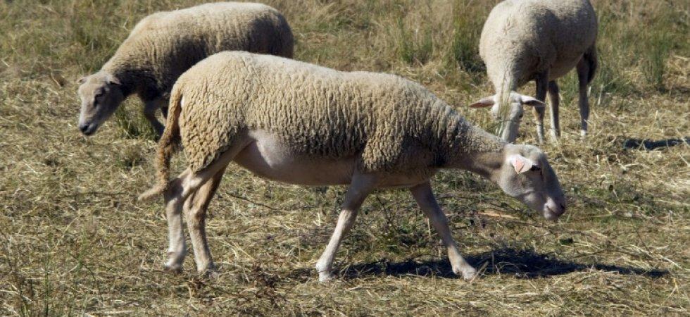 Un foyer de fièvre catarrhale ovine (FCO) découvert dans l'Allier, nouvelle menace sur l'élevage