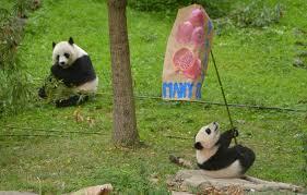 USA: un don de 4,5 millions pour les pandas géants du zoo de Washington