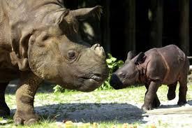 Une rhinocéros de Sumatra, espèce en danger d'extinction, enceinte en Indonésie