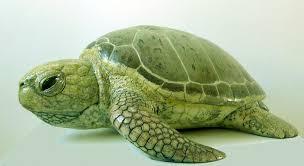 Espoirs pour la tortue verte: nombre record de nids recensés en Floride