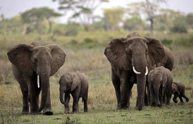 Comment les éléphants trompent le cancer