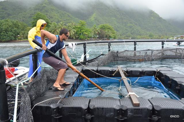 Tahiti Fish aquaculture n'utilise aucun produit chimique, ni antibiotique pour son élevage. Les granulés pour ces poissons proviennent de France, garantis sans OGM et sans farine d'animal terrestre.