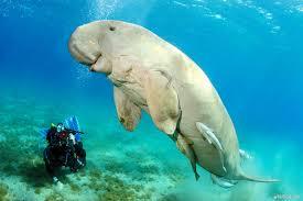 Méconnu et menacé, le dugong est surveillé de près en Nouvelle-Calédonie