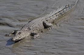 Selon une étude australienne, le crocodile marin ne dort que d'un œil
