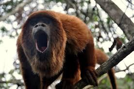 Cent ans après, des singes hurleurs reviennent dans la forêt de Rio