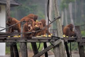 Indonésie: des orangs-outans affamés et malades fuient les feux de forêts