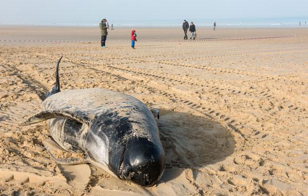 Une dizaine de baleines échouée à Calais