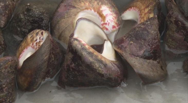 Le 21 octobre dernier, le conseil des ministres a autorisé la pêche aux trocas jusqu'à la fin du mois, avec des règles très précises.