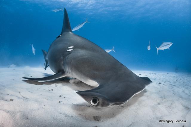 """""""Les requins sont au sommet de la chaine alimentaire des écosystèmes marins et malheureusement leur nombre est en chute libre"""""""