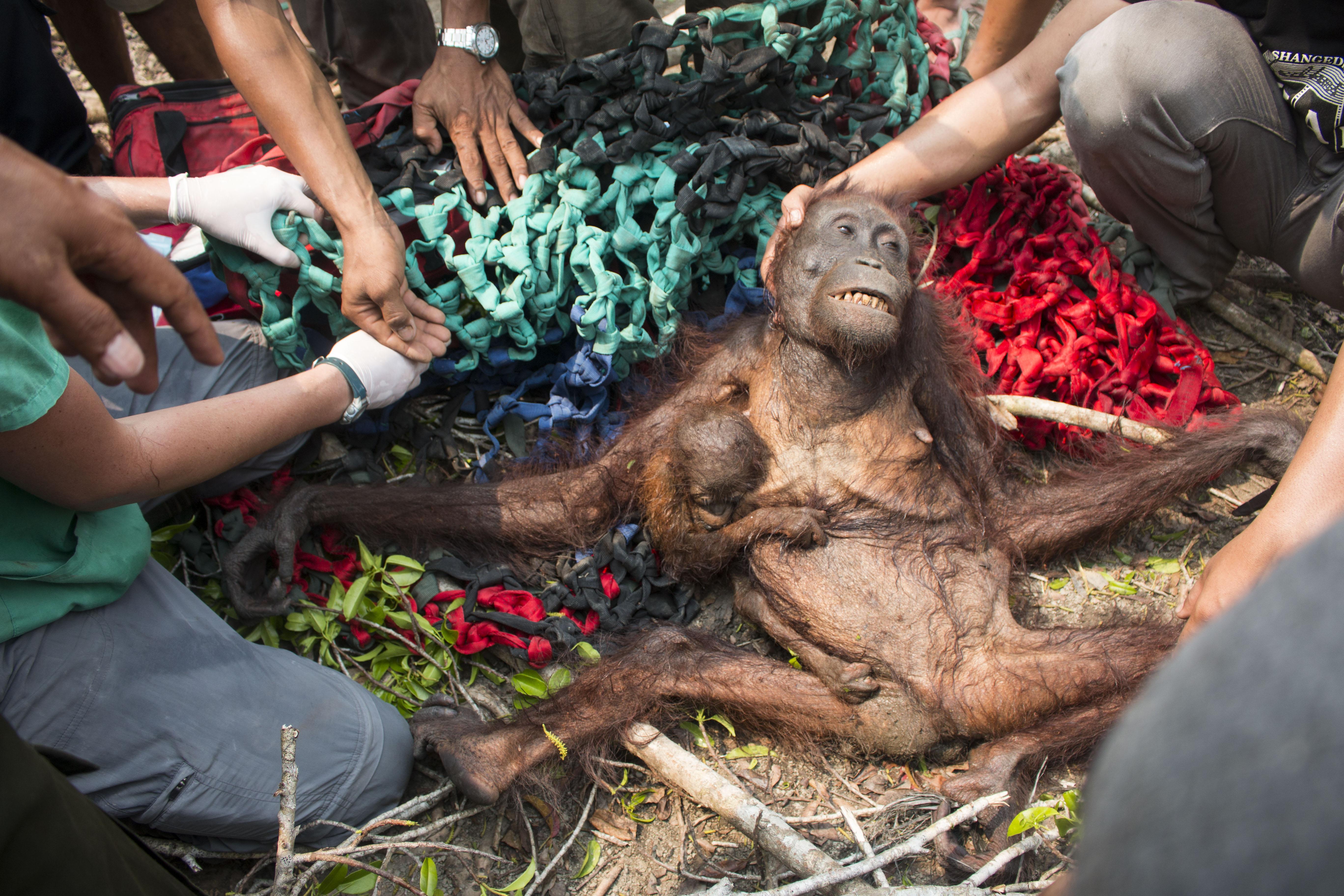 Indonésie: des orangs-outans fuyant les feux de forêts, attaqués par des villageois