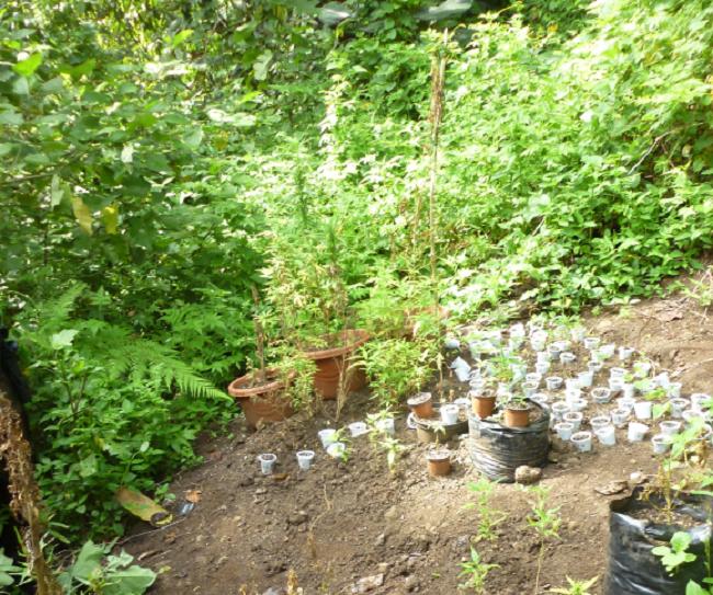Une plantation de paka avec 52 pieds adultes et 244 jeunes pouces.
