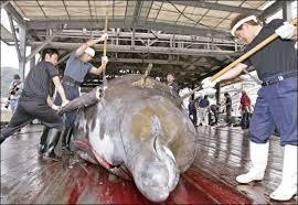 Chasse à la baleine: les écologistes veulent traîner le Japon devant la justice internationale