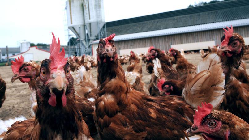 Grippe aviaire : le Pays suspend les importations de volaille française