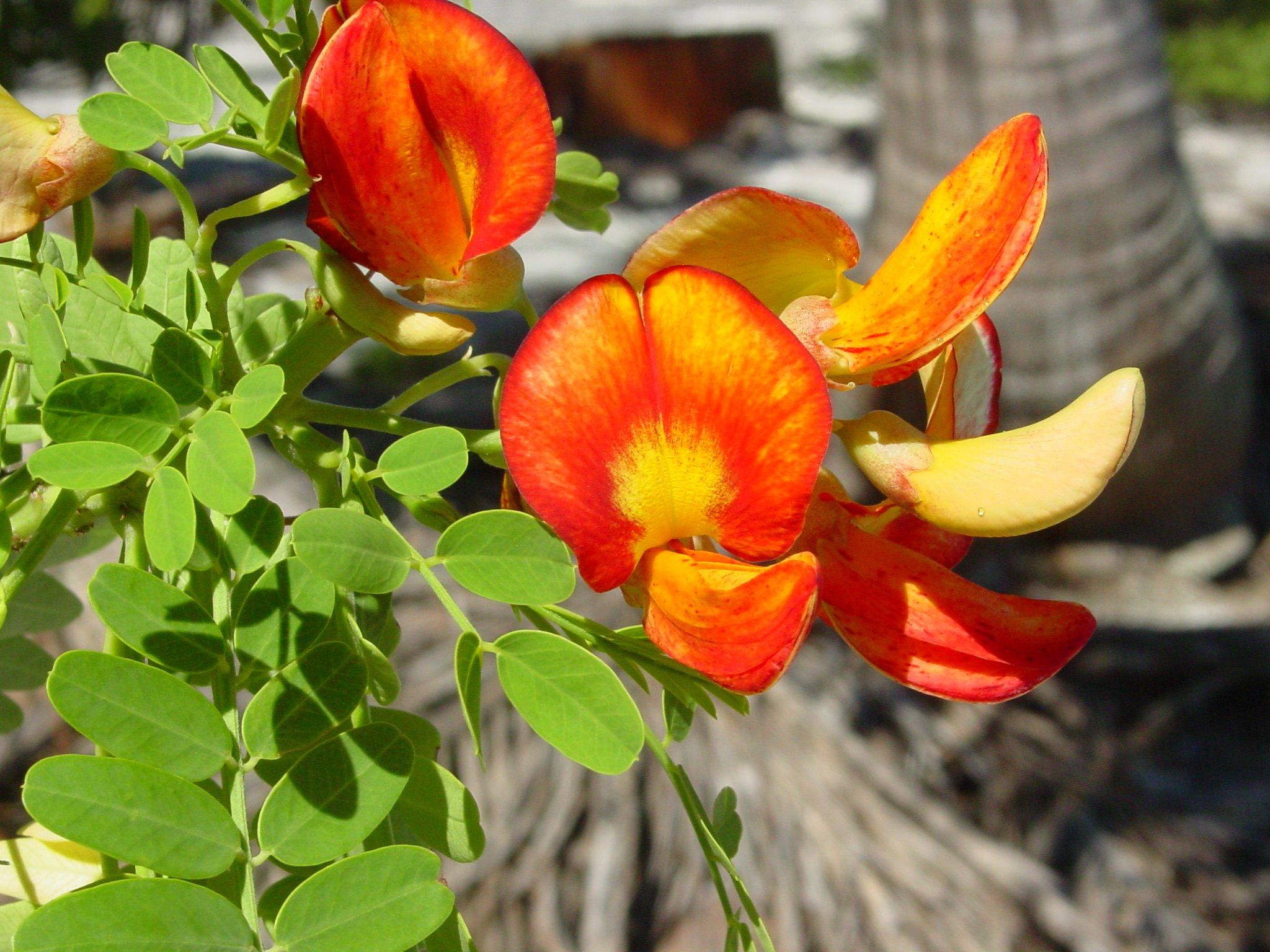 """La variété endémique de Sesbania coccinea (sous-espèce atollensis variété atollensi), classée """"Vulnérable"""" © Jeau-François Butaud"""