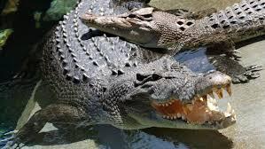 L'Australie veut augmenter ses exportations de produits à base de crocodile