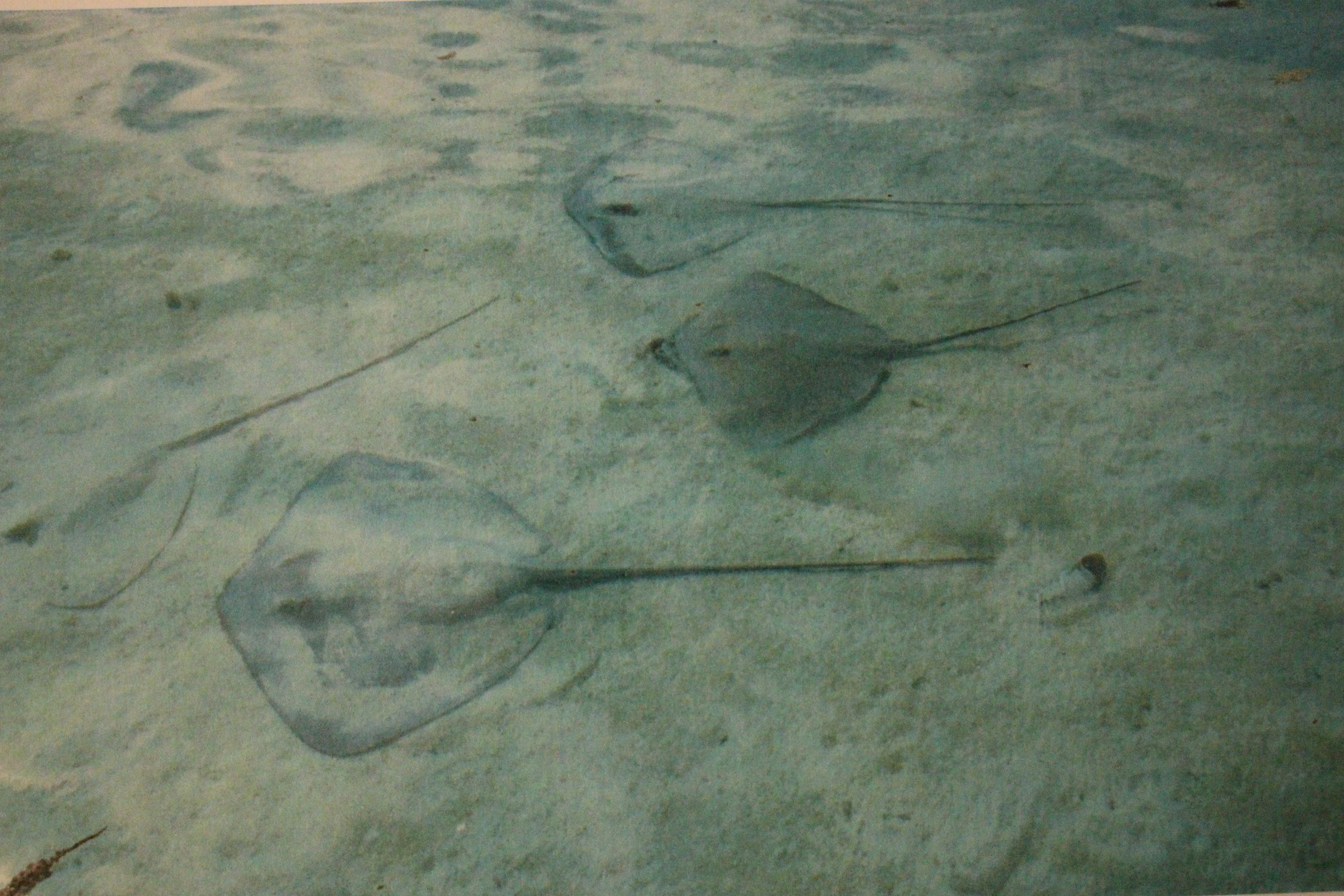 L'impact du ray feeding sur le comportement des pointes noires mis au jour