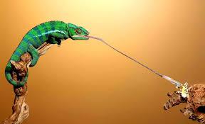 Les petits caméléons lancent leur langue à une vitesse plus fulgurante qu'estimée