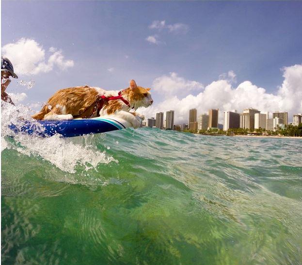 Kuli, le chat surfeur le plus cool de Oahu à Hawaï (vidéo)