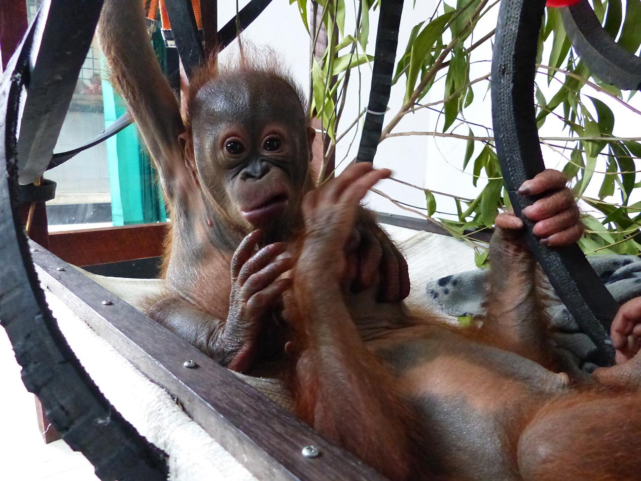 Indonésie: nouvelle vie pour un bébé orang-outan passé près de la mort