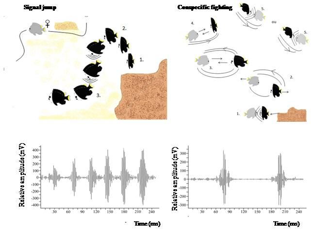 Ce schéma permet de mettre en évidence deux comportements des poissons (à gauche : attirance d'une femelle par un mâle, à droite : combat entre deux mâles) et des sons associés dans les récifs coralliens.