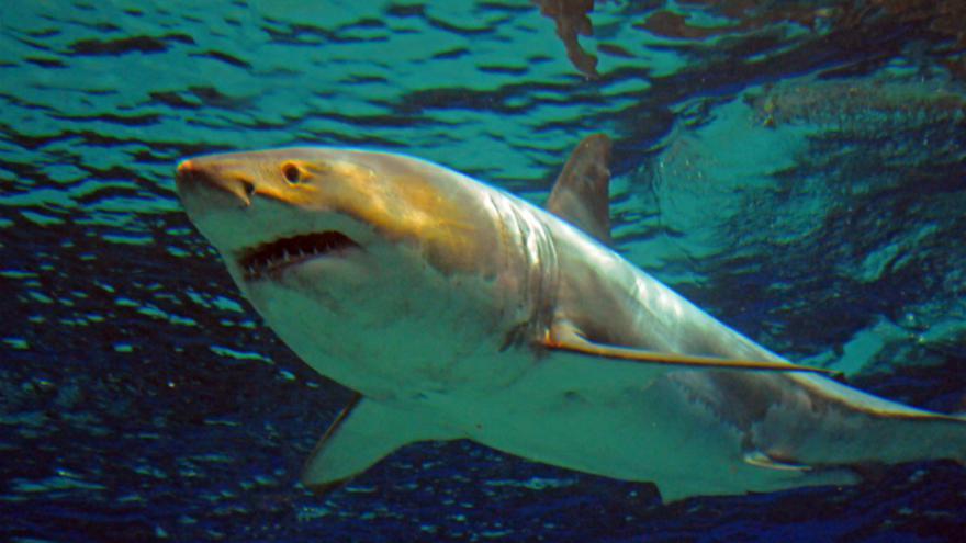 Emirats: un grand requin bondit sur un bateau de pêche, panique à bord