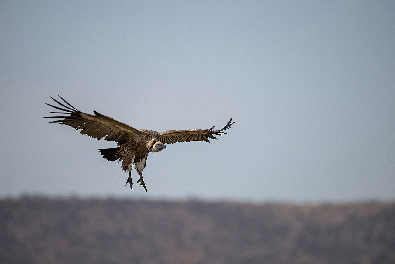 Israël: un vautour présumé espion récupéré au Liban grâce à l'ONU