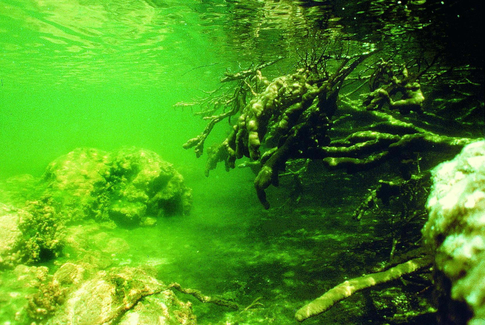 Enchevêtrement de racines de cocotiers recouvertes d'algues. Un décor de film fantastique.