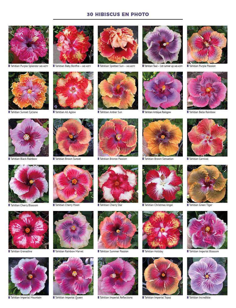 Festival de couleurs pour les Hibiscus