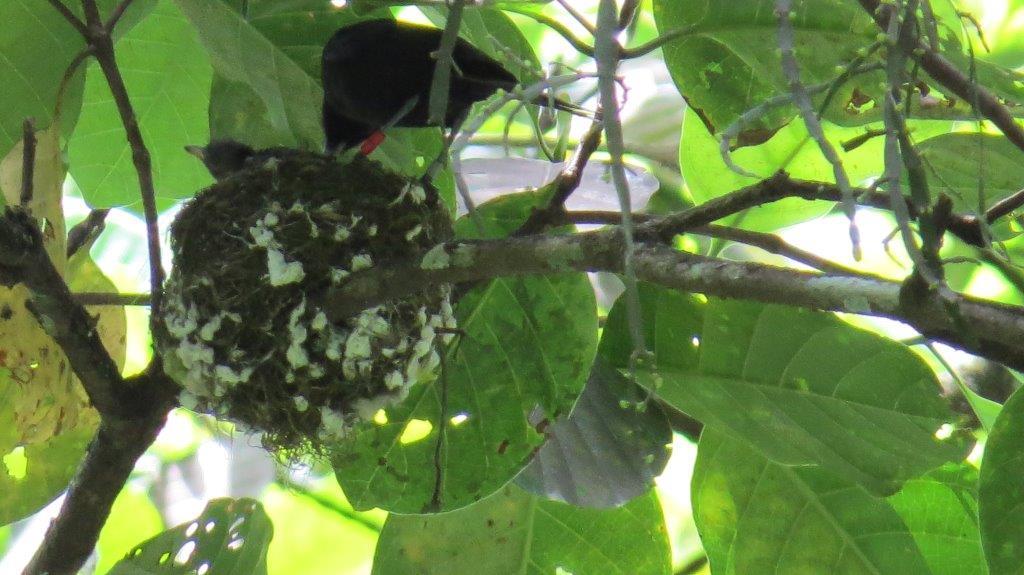 Femelle Monarque et son petit au nid (photo : Alain Petit)