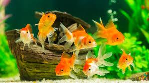 Japon: une mère force sa fille à avaler 30 poissons rouges