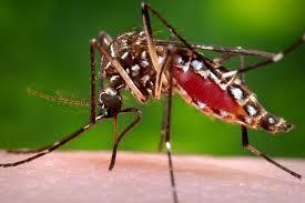 Moustique du Zika: cherchez le mâle - et neutralisez-le