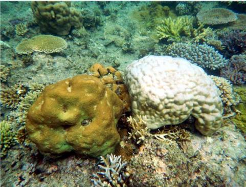 Toutes les espèces ne réagissent pas de façon similaire. Ici deux colonies coralliennes massives avec deux types de blanchissement : à gauche, Hydnophora micronoson a gardé encore sa coloration normale alors qu'à droite, Porites lutea est devenu quasiment blanc. © IRD / F. Benzoni.