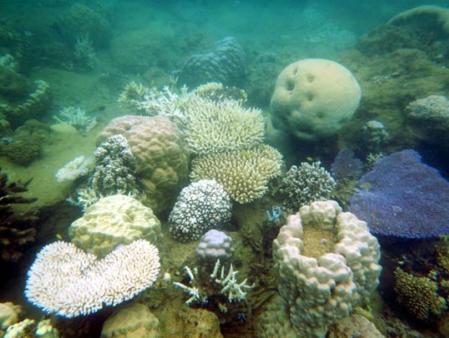 Les communautés coralliennes situées le long des côtes,  comme à la Baie des Citrons, sont les plus affectées, la  plupart des espèces montrant une décoloration ou un  blanchissement  comme ici un Pocillopora cornisis branchu  blanchi au centre de la photographie. © IRD / F. Benzoni.