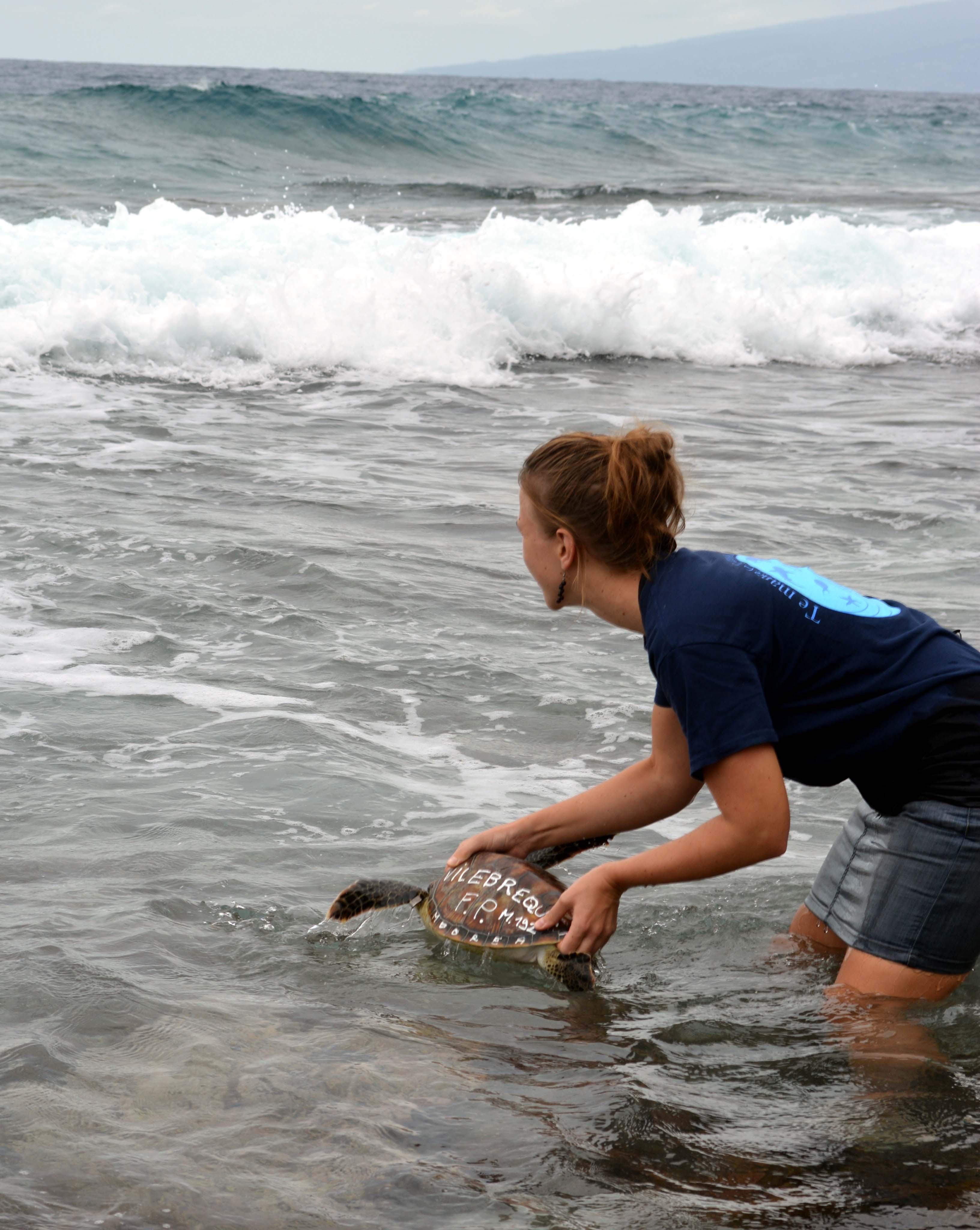 Deux tortues vertes relâchées à Temae
