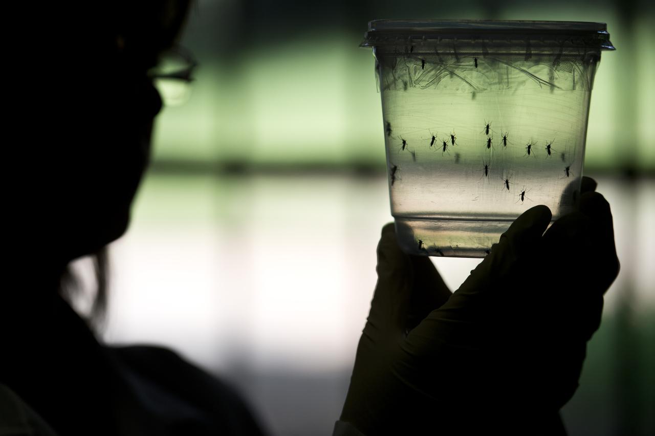 USA: feu vert de principe pour lâcher des moustiques OGM contre le Zika
