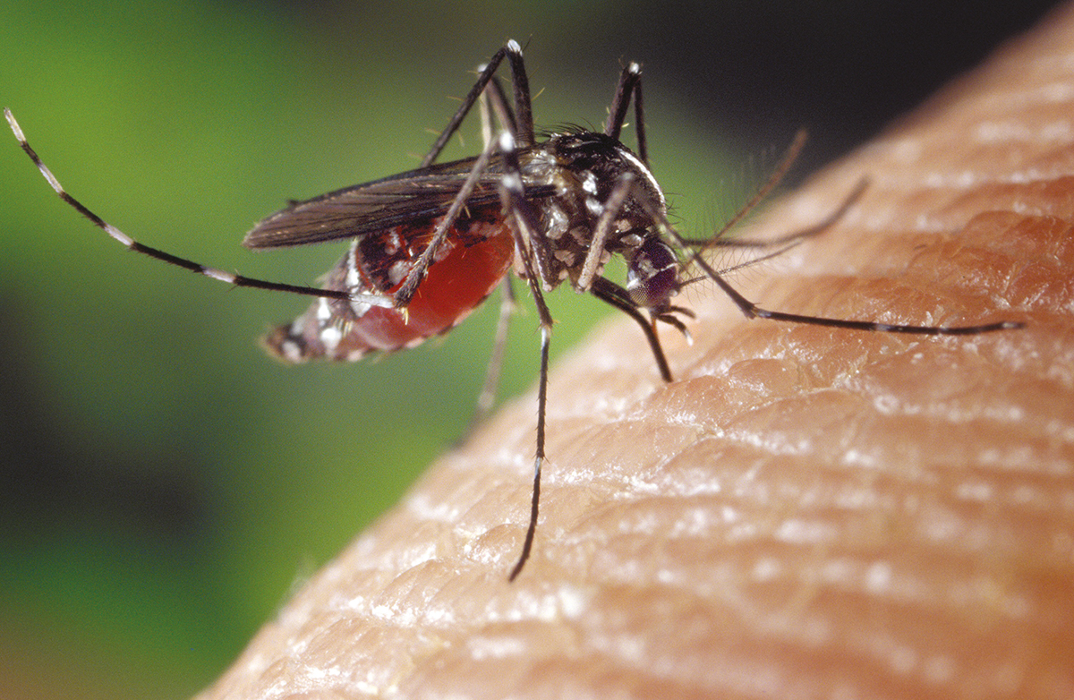 Premier vaccin expérimental 100% efficace contre la dengue
