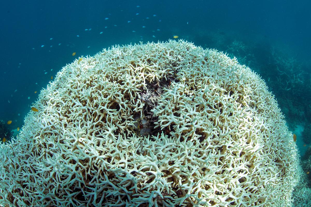 Australie: Les ONG s'alarment du blanchissement des coraux de la Grande barrière
