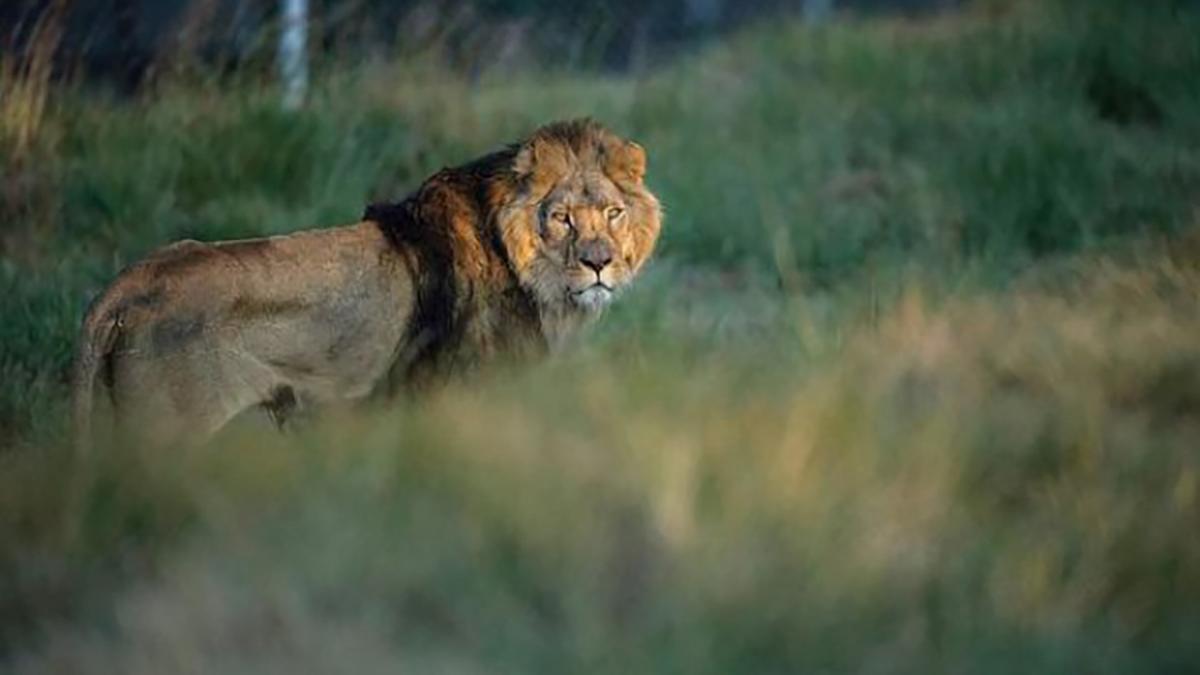 Sursis pour le lion Sylvestre, menacé d'être abattu