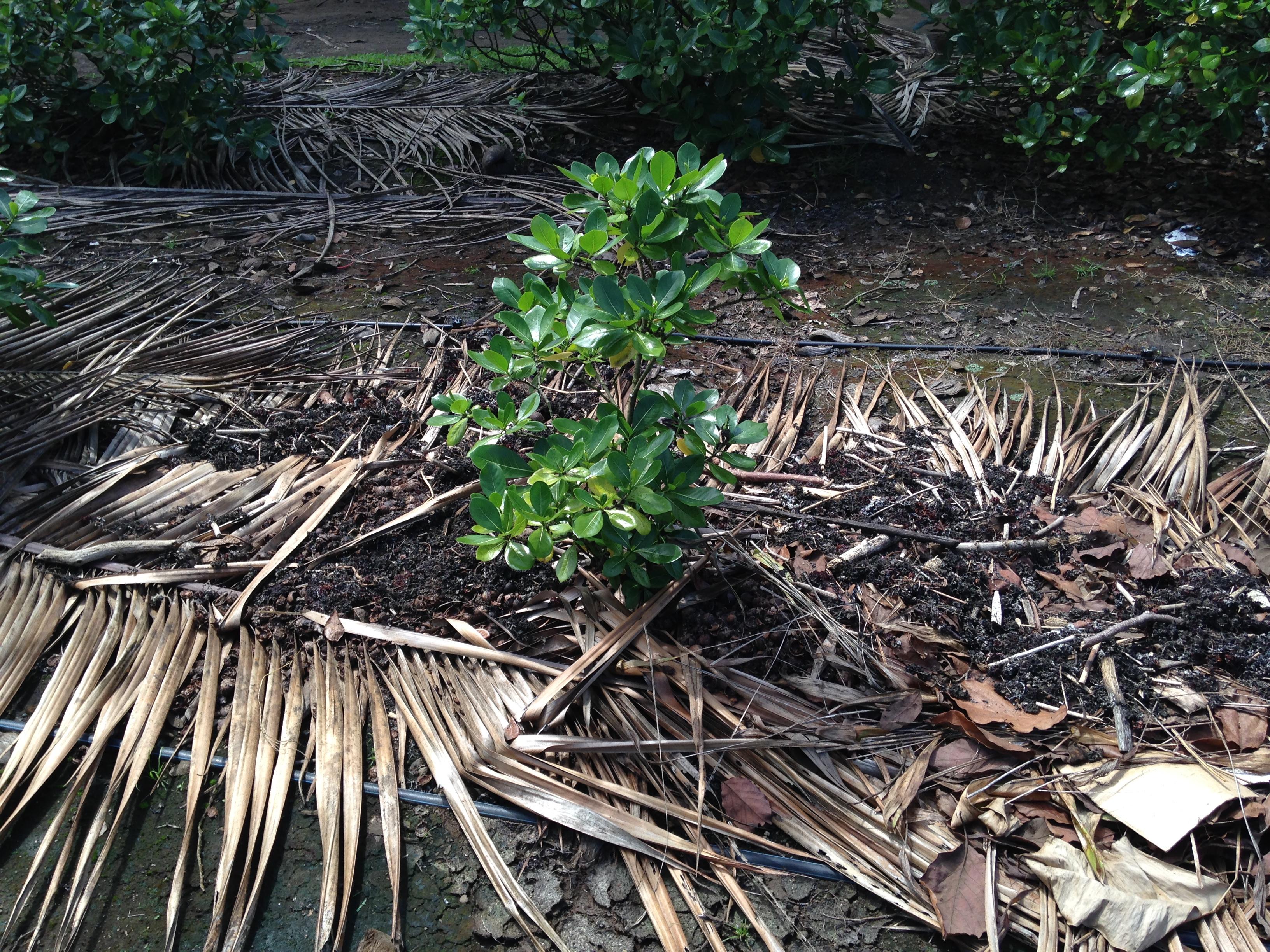 Pour garder la terre humide, Juliette met autour des algues, elle rajoute ensuite des feuilles mortes avec un peu d'eau. Le tout est ensuite recouvert de feuilles de palmier.