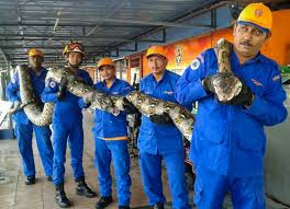Malaisie: un python géant retrouvé sur un chantier de construction