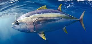 Des polluants dans des poissons empêcheraient le corps d'éliminer les toxines