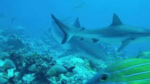 Attaque de requin à Makemo : deux blessés, dont un grave (MAJ)