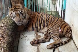 """Indonésie: un tigre d'une espèce rare périt au """"zoo de la mort"""""""