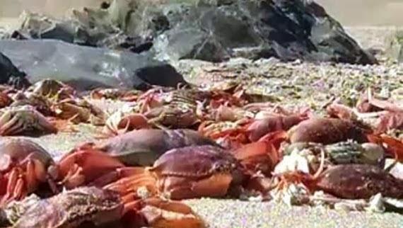 En 2014, es milliers de crabes, d'oiseaux et plusieurs autres espèces marines étaient retrouvés morts sur plus de 3 kilomètres de la plage de Chacaya à Antofagasta au Chili.
