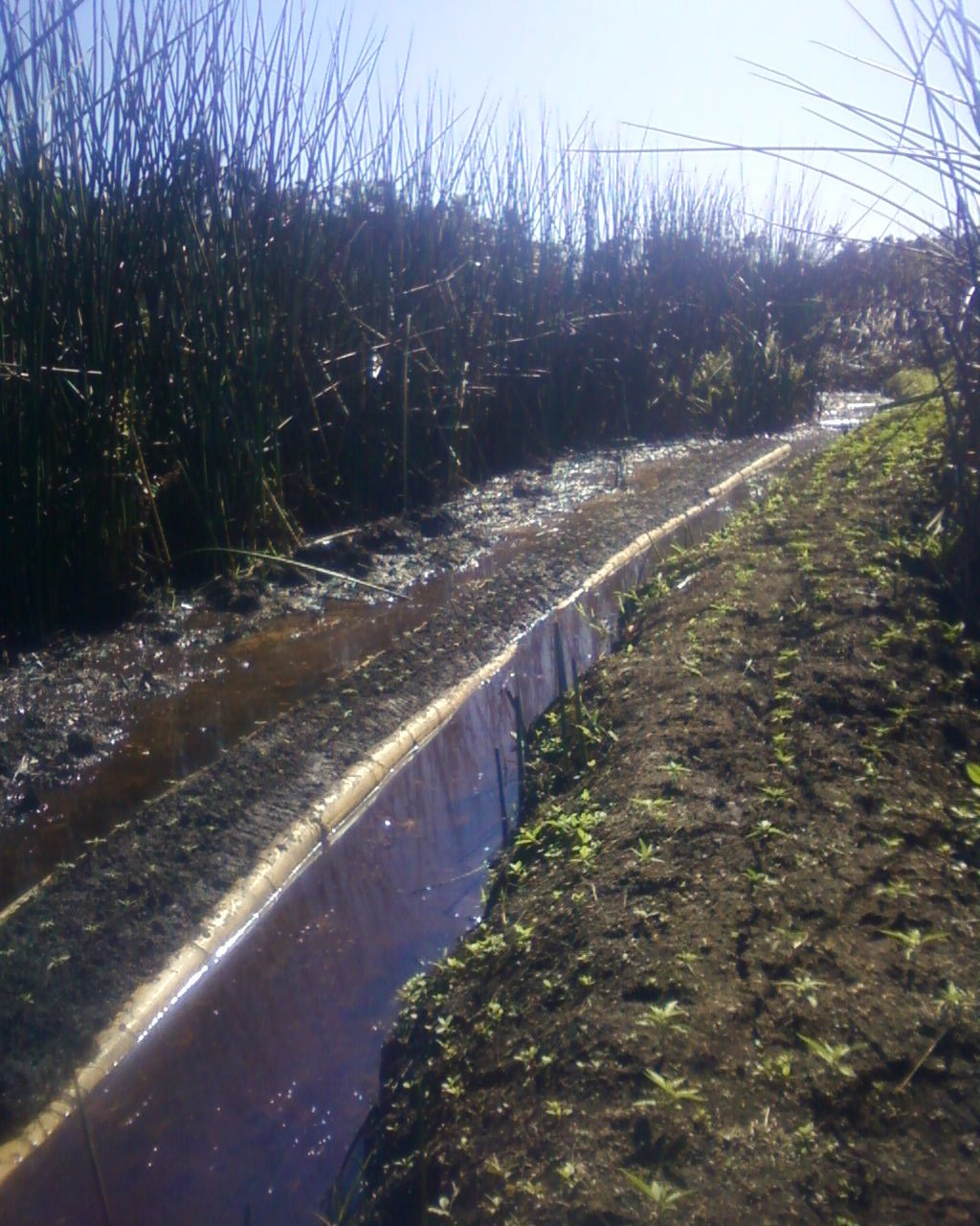 Les pousses de paka avaient été plantées au cœur d'un bras d'eau pour une irrigation optimale.