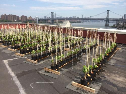 Un premier vignoble sur un toit de New York