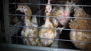 Un élevage géant de poules pondeuses mis au ban après une nouvelle vidéo choc