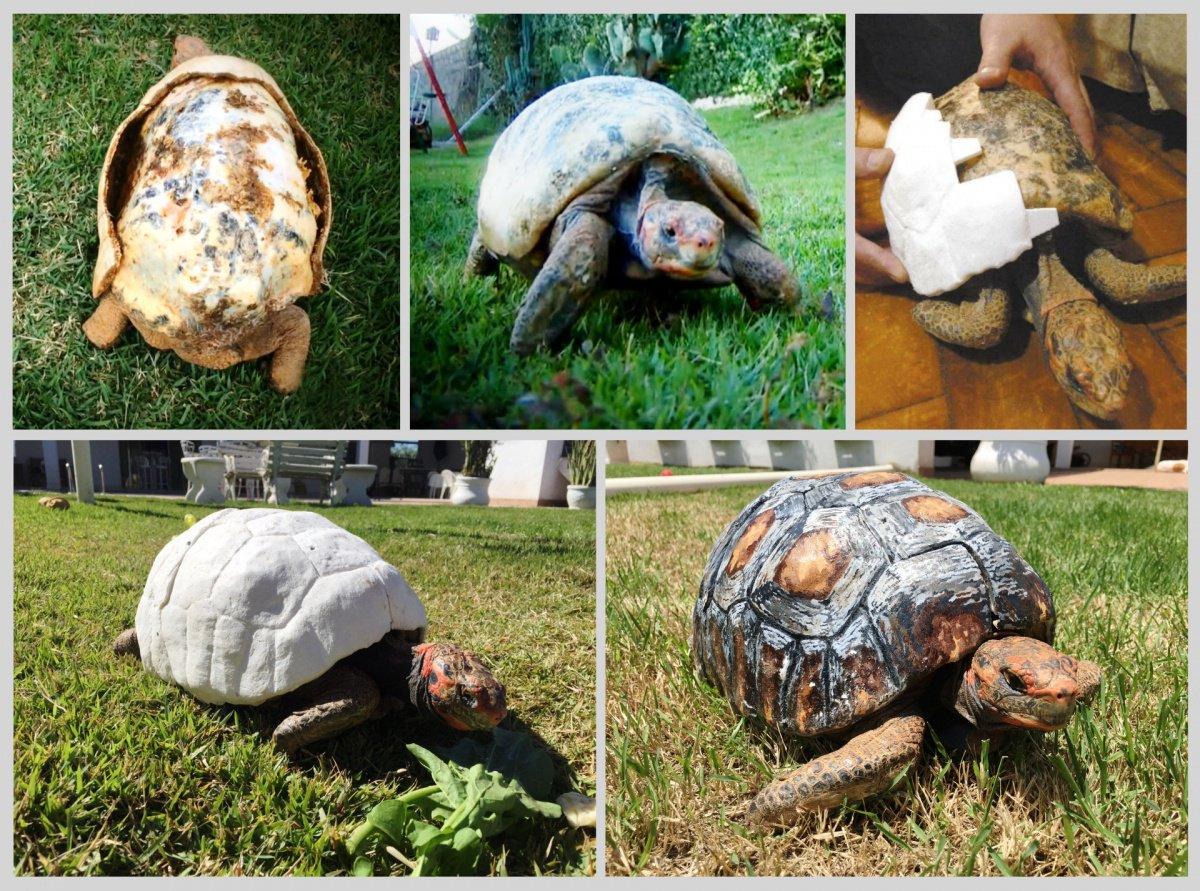 Une tortue sauvée par une carapace imprimée en 3D